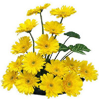 Send a basket of 24 Yellow fresh gerberas to your someone Special in India.